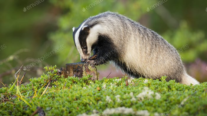 European badger sniffing on stump during the summertime