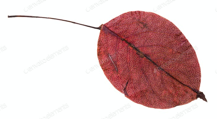 red autumn leaf of pear tree isolated
