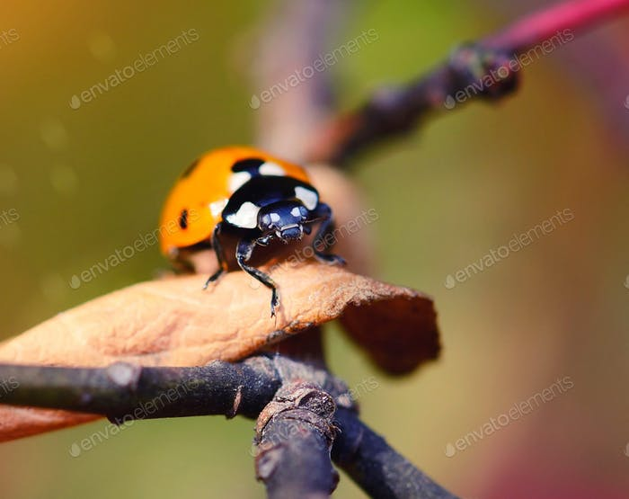 Ladybug on the fallen yellow leaves in the fall. Insects in the