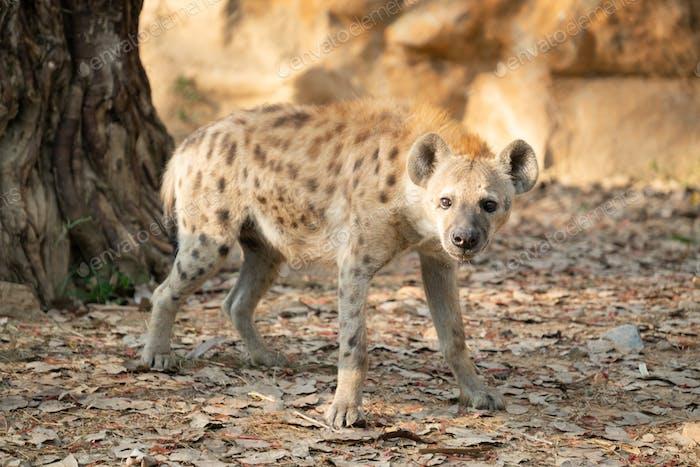 gefleckte Hyäne im Zoo