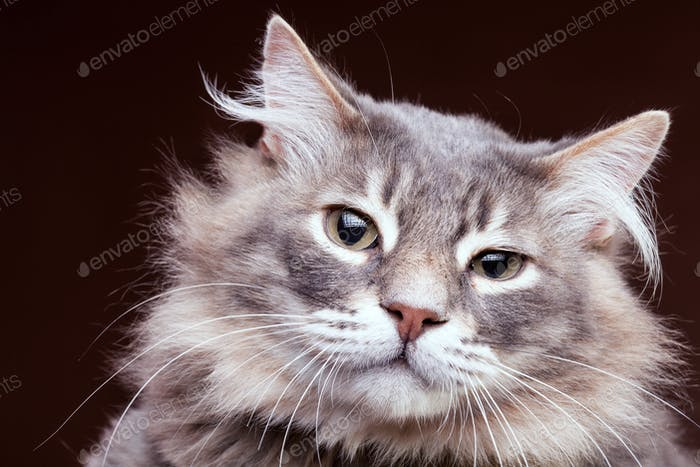 Very annoyed cat on brown background in studio
