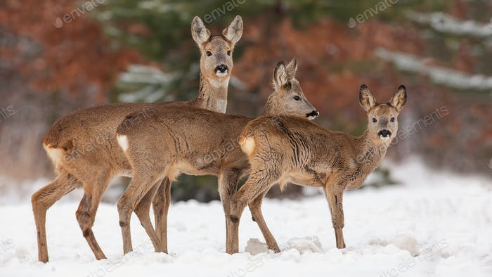 Roe deer, capreolus capreolus, herd in deep snow in winter