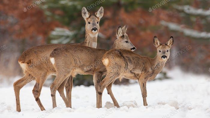 Rehe, Capreolus capreolus, Herde im Tiefschnee im Winter