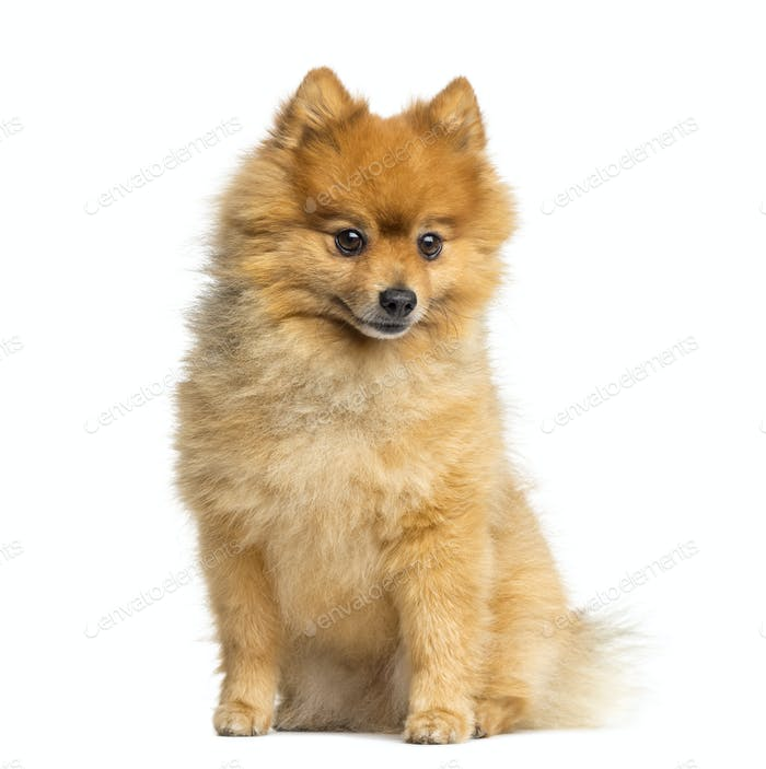 Pomeranian sitting, 5 years old, isolated on white