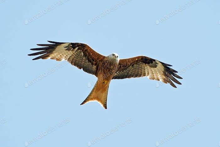 Red kite (Milvus milvus)