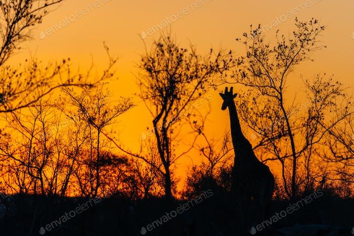 Giraffe, Sabie Sands