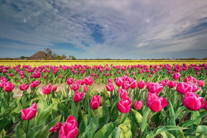 beautiful colorful tulip field in spring farmland