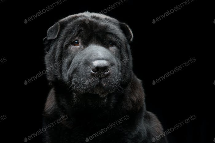 Beautiful shar pei dog over black background