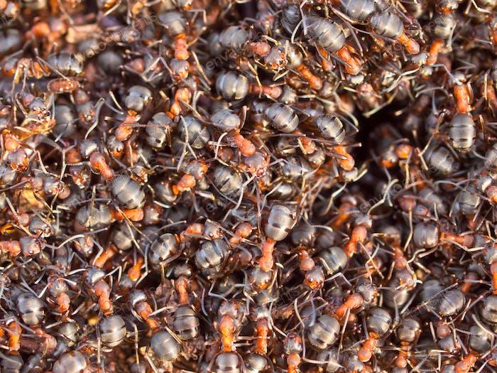 Hektik rund um die Rote Ameisenkolonie