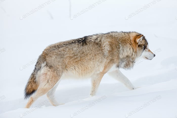 Canis Lupus strolling on snow in nature