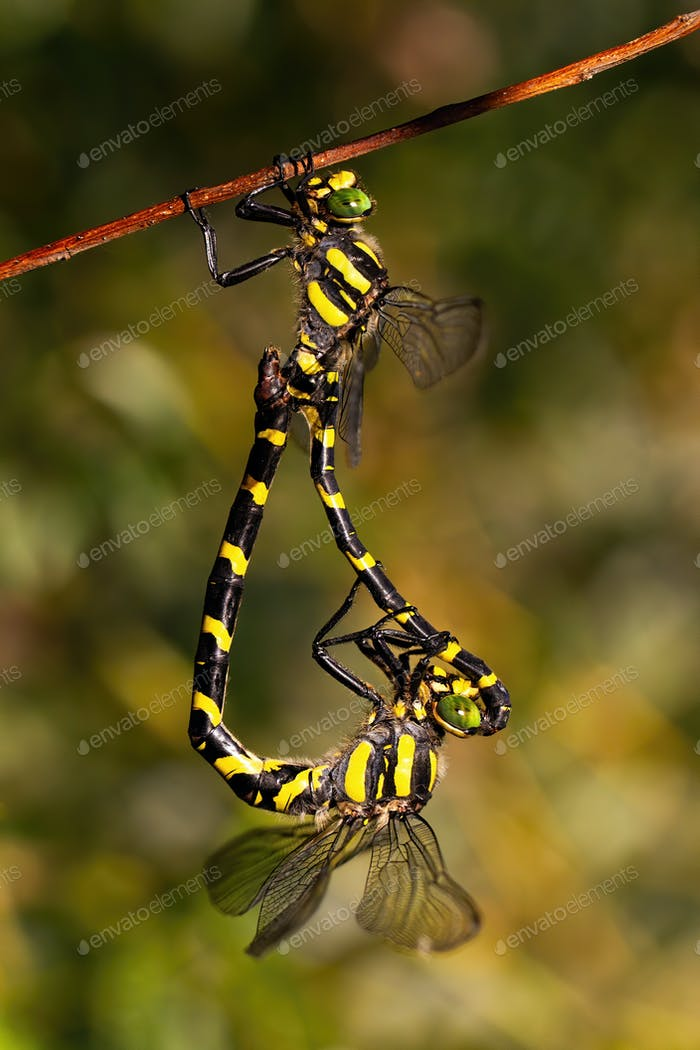 Pair of golden ringed dragonfly mating in sunlight