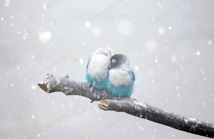 Loverbird freezing