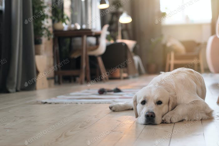 Dog resting at home