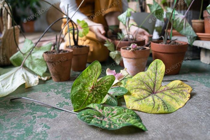 Woman gardener pruning dry withered caladium houseplant, take routine care, using scissors