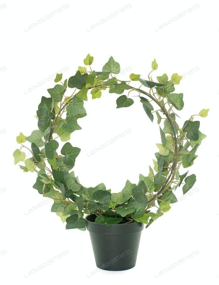 common ivy in studio