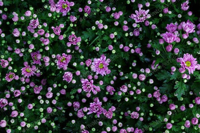 Hintergrund der lila Blume in Blüte