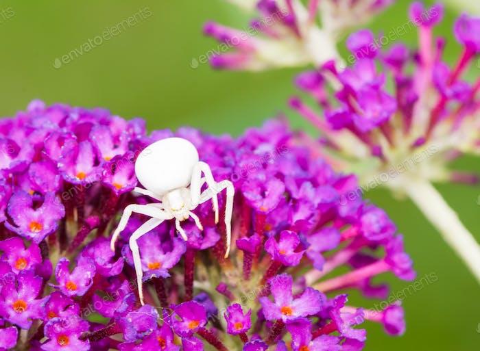 Weiße Krabbenspinne auf lila Buddleia Blüten
