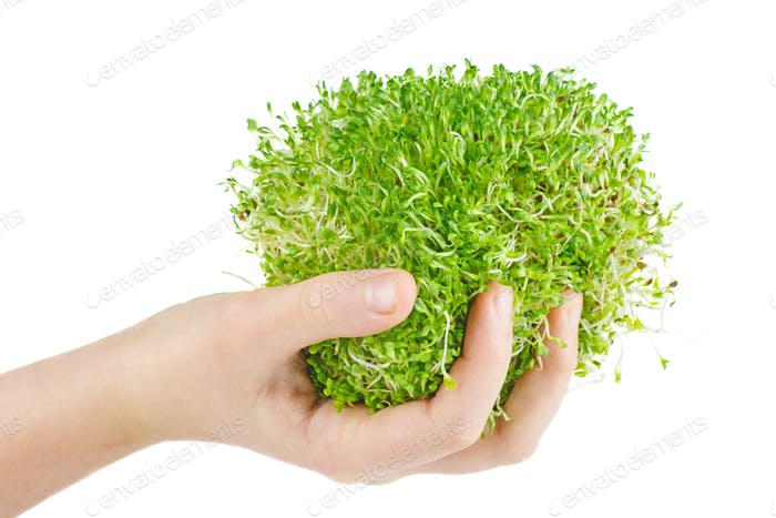 Bunch of Alfalfa sprouts background