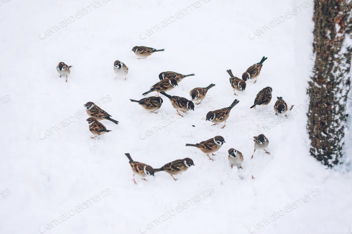Birds sparrows eating seed from snow ground in the winter park. Wooden handmade bird feeder in