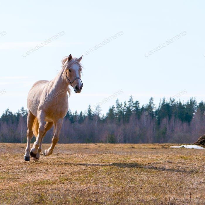beautiful horse runs