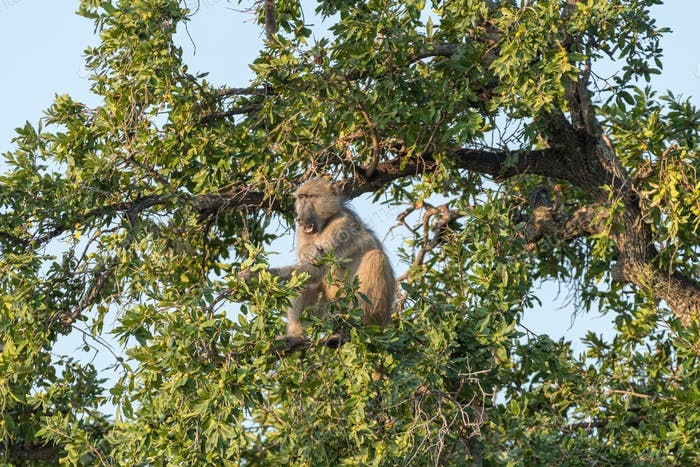Chacma baboon, Papio ursinus, eating fruit in a tree