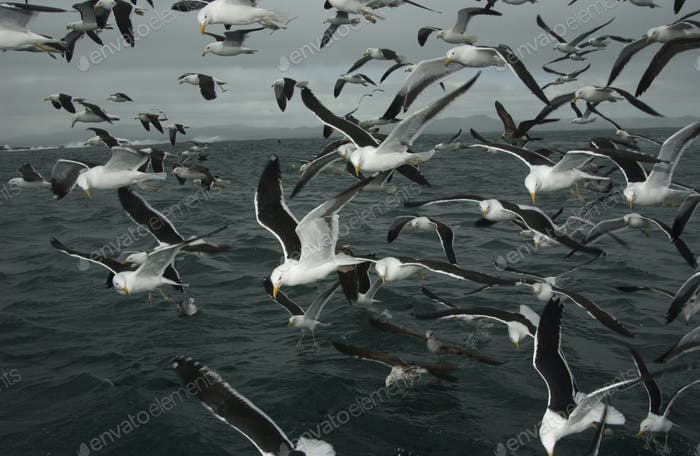 A flock of gulls follow a boat going out to sea in search of Great white sharks.