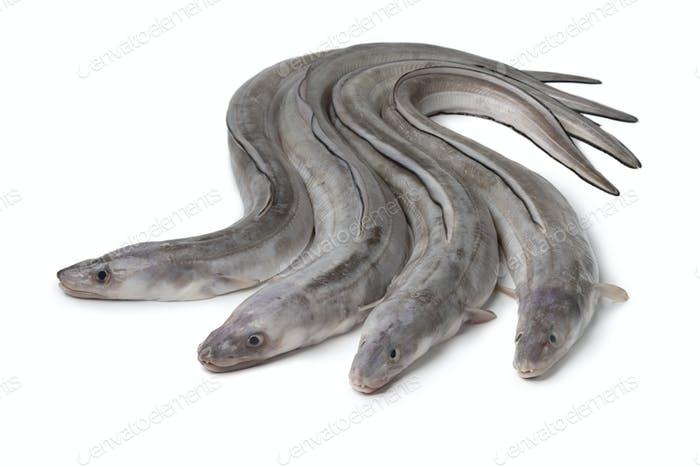 Fresh raw european conger eels