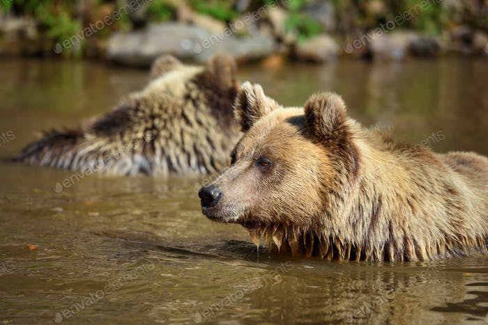 Two young brown bears swimming in a water