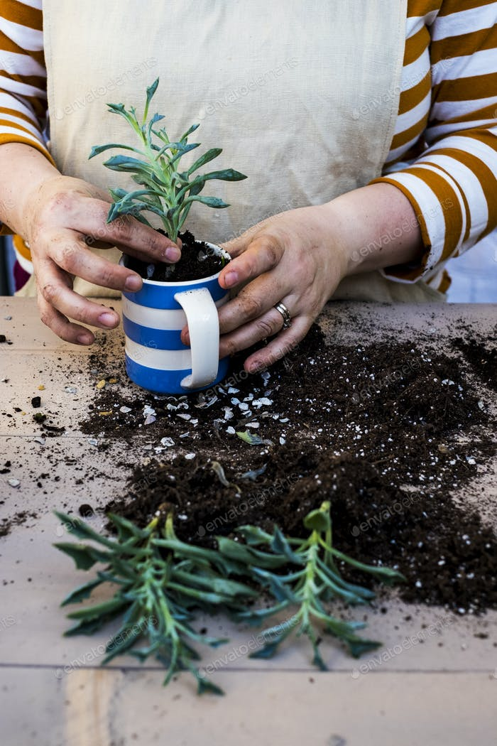 High angle close up of person planting succulent in potting soil in a coffee mug, succulent plants