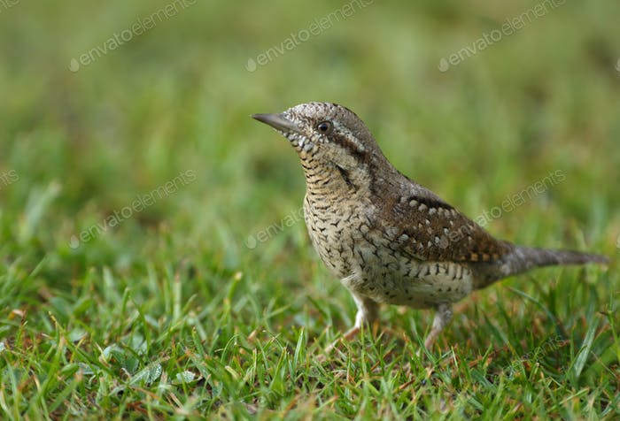 Wryneck (Jynx torquilla) on the grass