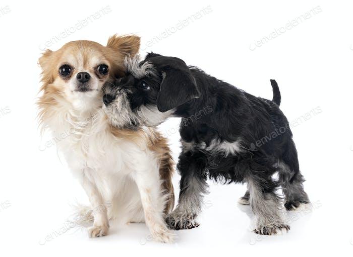 miniature schnauzer and chihuahua