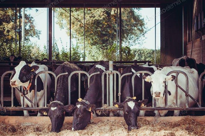 Kühe auf einem Bauernhof. Milchkühe auf einem Bauernhof.
