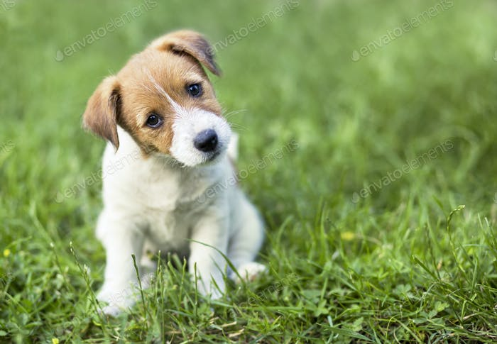 Jack Russell terrier puppy looking to the camera