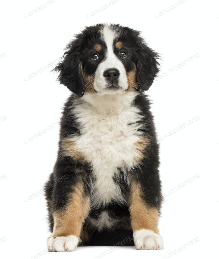 Bernese Mountain Dog Puppy Sitting In Front Of A White Background Photo By Lifeonwhite On Envato Elements