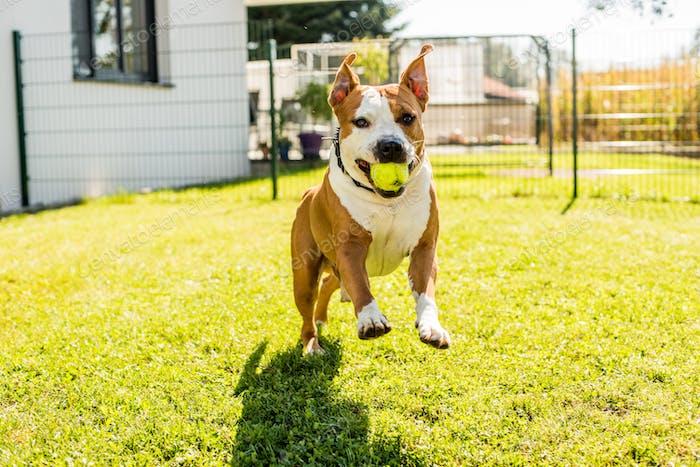 Staffordshire Terrier Amstaff Hund laufen in einem Garten mit einem Ball