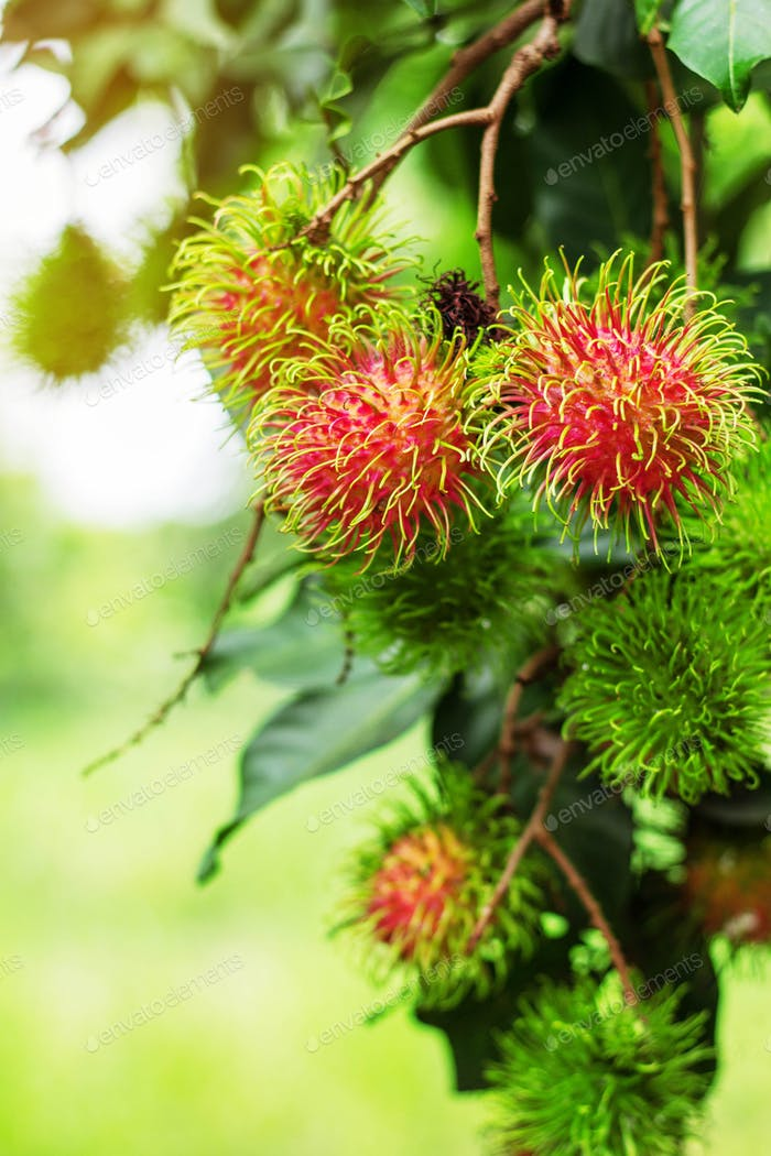 rambutans with green background
