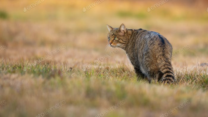 European wildcat standing on meadow in autumn nature