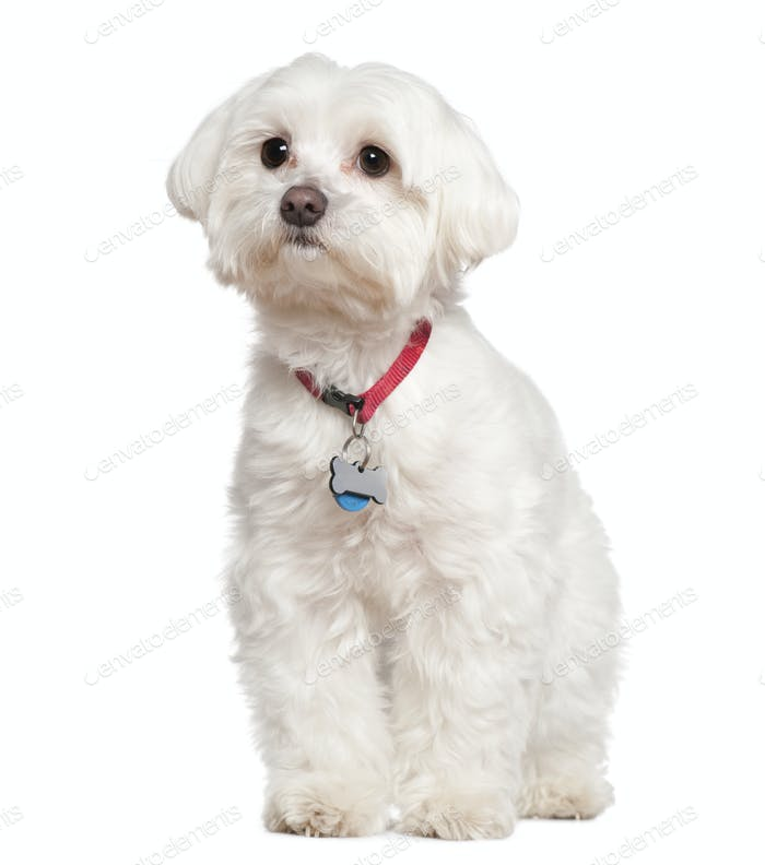 Maltese, 4 years old, in front of white background