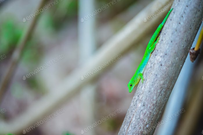 Tropical green neon Lizard Geco on palm trunk on La Digue island, Seychelles. Travel adventure