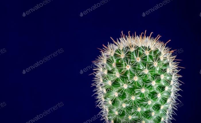 Cactus, blue background