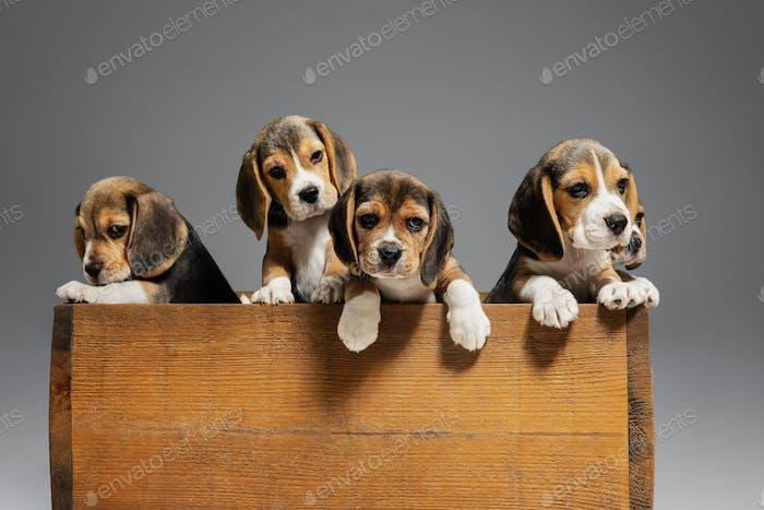 Studioaufnahme von Beagle-Welpen auf grauem Studio-Hintergrund