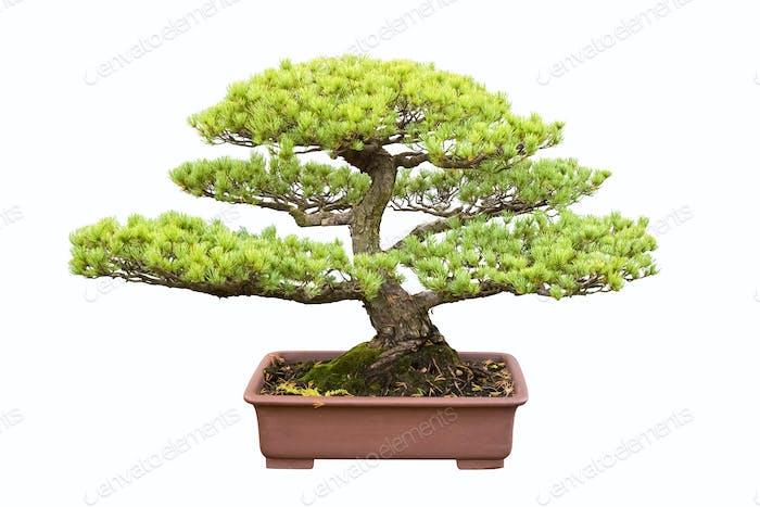 Bonsai Baum von fünf Nadel Kiefer
