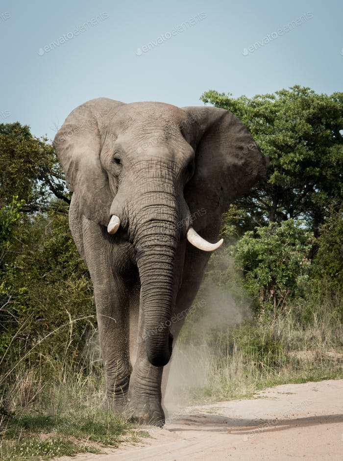 African elephant walking towards the camera in the Kruger National Park, South Africa.