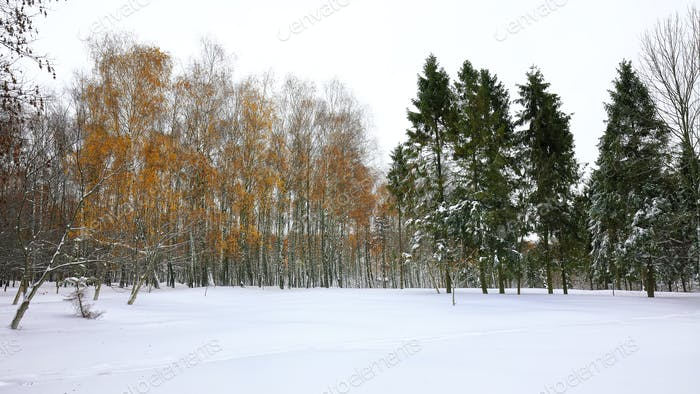 Christmas trees and birches covered with snow in the city park