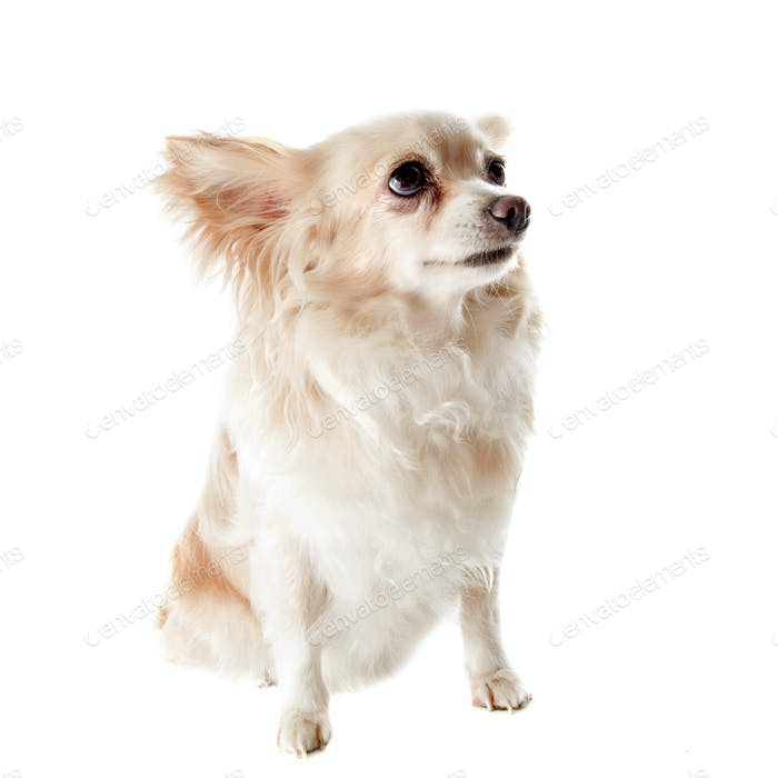 alte Chihuahua