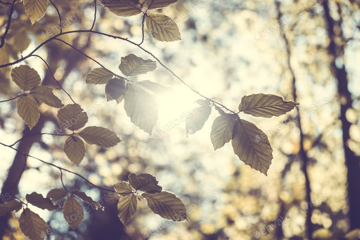 Birch leaves against the sunset
