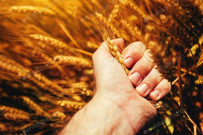 Farmer sqeezing wheat ear in hands