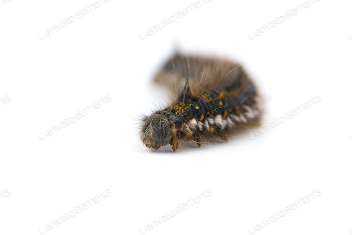 Braune Schwanzmottenlarven isoliert auf weißem Hintergrund