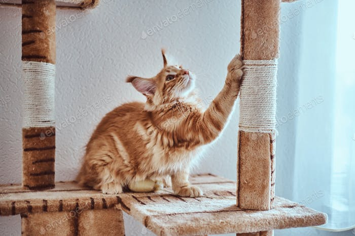 Cute ginger maine coon kitten is sharpening his claws on special cat's furniture near window
