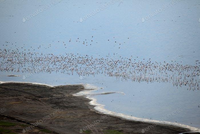 Pink Flamingoes - Lake Nukuru Nature Reserve - Kenya